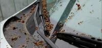 Рабочий совет защитить авто от липких весенних почек с деревьев